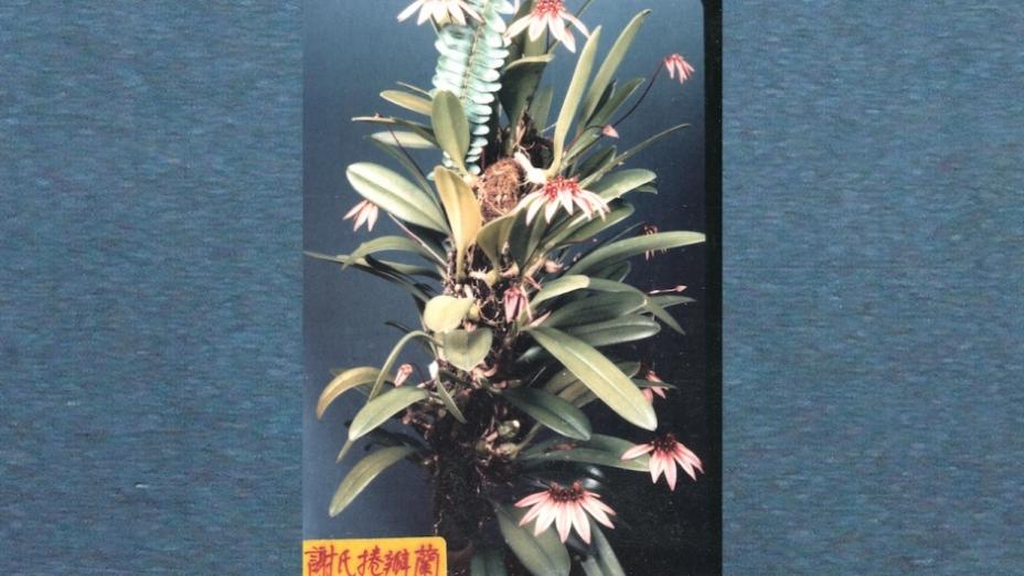 香港蘭花傳奇系列—謝伯篇