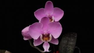 14種優雅蝴蝶蘭原生種鑑賞