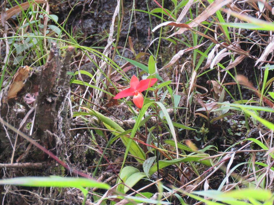 圖四十三、南美拖鞋蘭屬Phragmipedium besseae