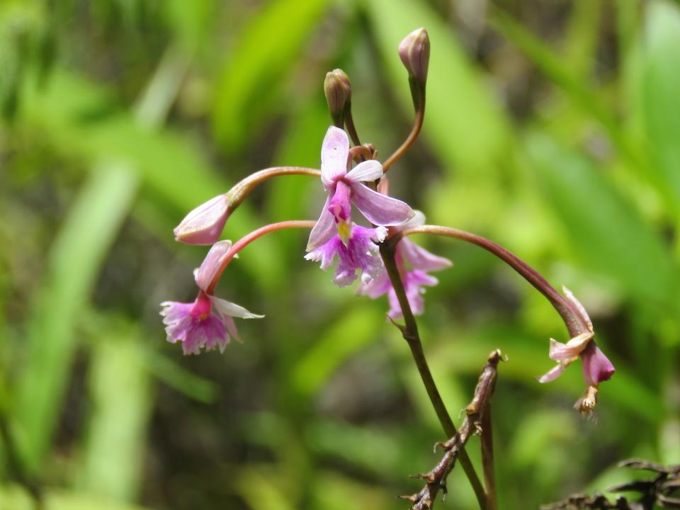 圖十一、Epidendrum sp.