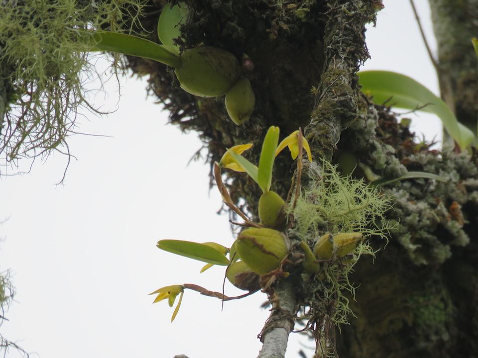圖二十九、肋柄蘭屬Pleurothallis imperialis