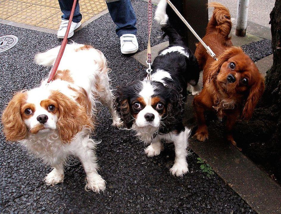 狗最得人寵愛的地方,是人人都可以對着牠講知心話。(Wikipedia Commons)
