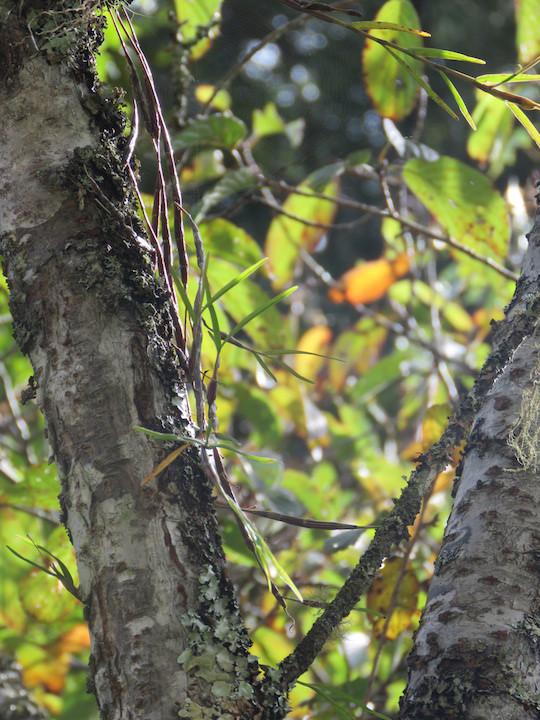 圖二十一、新竹石斛(Dendrobium falconeri)。