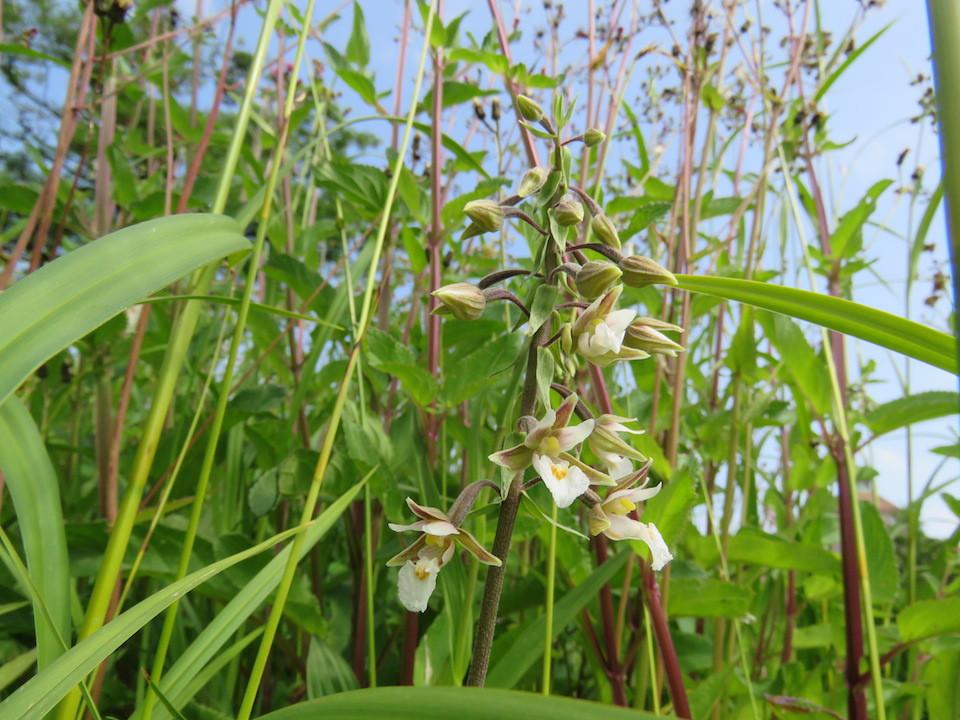 圖五:新疆火燒蘭(Epipactis palustris)。