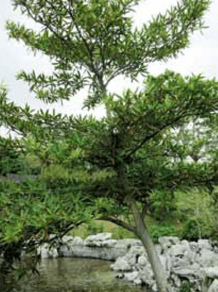 水石榕在湖邊迎風而立,葉子尖長,多生長在水邊潮濕地。