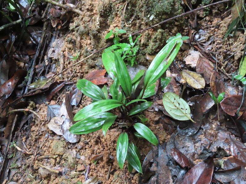 圖十七:昂達西貝蘭屬Eulophiella galbana