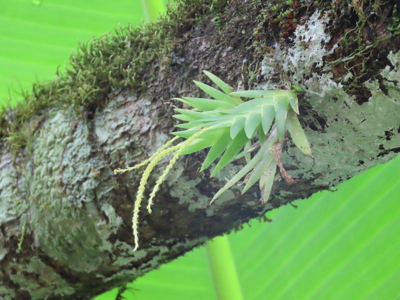 圖二十一,鳶尾蘭屬Oberonia disticha