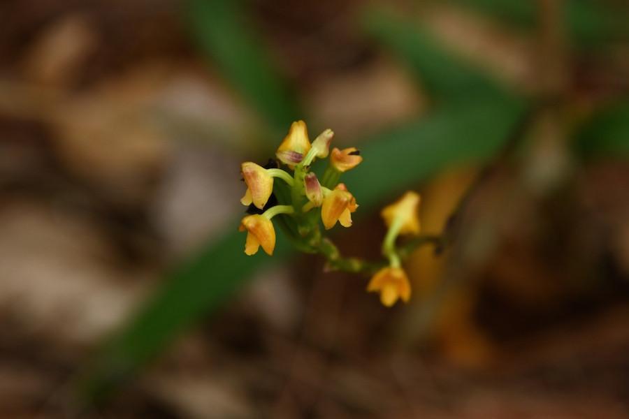圖九,多穗蘭屬Polystachya clareae