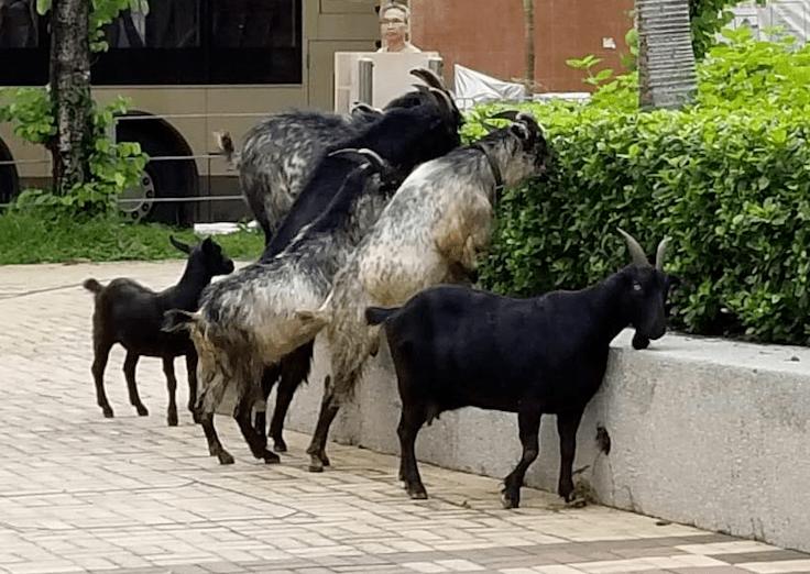 無論山羊和綿羊都是善良的動物,受人歡迎。據了解在羊舍附近居住的街坊鄰里向來都沒有作出投訴。(網絡圖片)