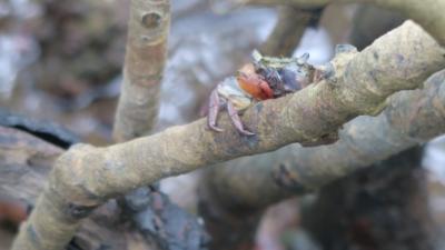 為了發展的方便,香港不少原生物種瀕臨滅絕。圖為汀角紅樹林的小螃蟹。