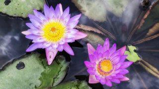 睡蓮 Water Lilies