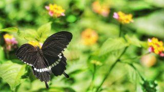 金邊燕尾蝴蝶 Gold Rim Swallowtail Butterfly