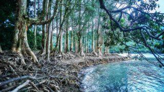 城門水塘畔白千層 Paperbarks by Shing Mun Reservoir