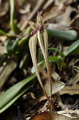 圖三十一:雜交豆蘭(Bulbophyllum fascinator x longissimum)(朋友攝於2020年10月7日)