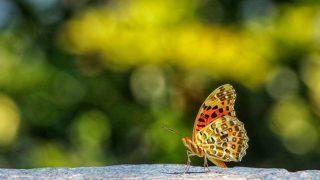 斐豹蛺蝶 Indian Fritillary