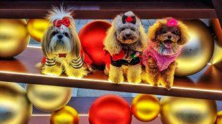 聖誕節打扮的小狗 Puppies for Christmas