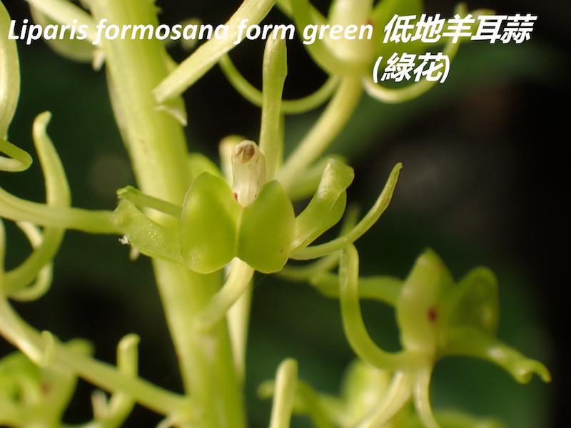 圖五、低地羊耳蒜(Liparis formosana)