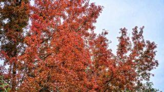 賞紅葉秘點 大埔九担租 Secret Gem for Autumn Leaves Viewing at Kau Tam Tso