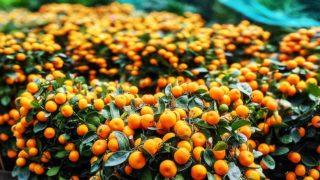 年桔賀新春 Tangerines for Lunar New Year