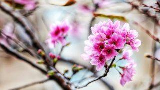 大埔農墟櫻花綻放 Cherry Blossoms Blooming in Tai Po