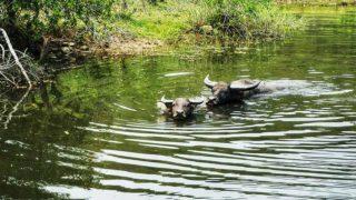 雄偉的大嶼山水牛  Majestic Water Buffaloes of Lantau