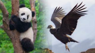 優化熊貓,惡化老鷹