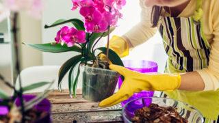 蘭花攻略之賀年蝴蝶蘭復種方法