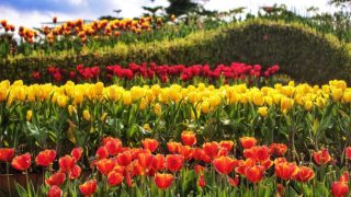 花展2021|金鐘添馬公園賞鬱金香  Flower Show 2021 | Tulips at Tamar Park in Admiralty