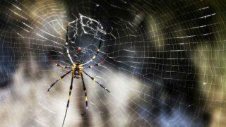馬鞍山的大木林蜘蛛 Giant Wood Spider at Ma On Shan