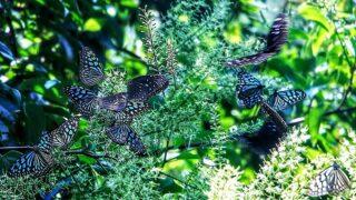 青斑蝶蜂擁  Flocking Blue Tiger Butterflies
